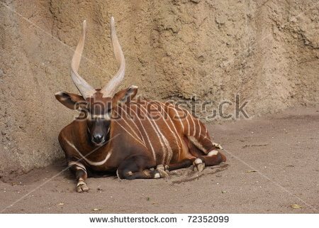 Bongo Animal Stock Photos, Royalty.