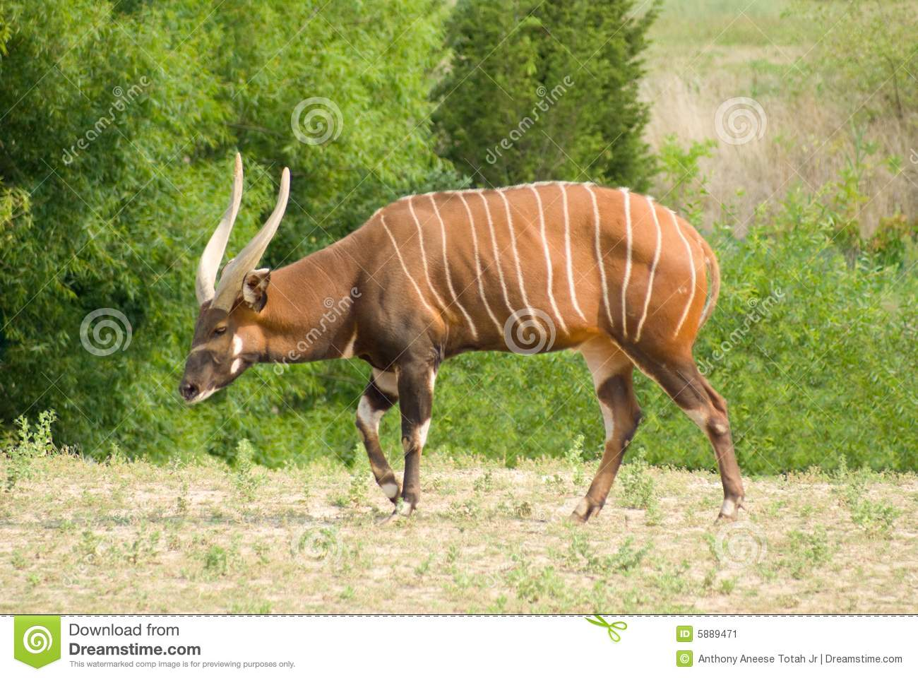 Mountain Bongo Stock Image.