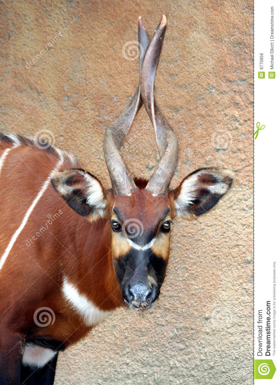 Mountain Bongo Royalty Free Stock Image.