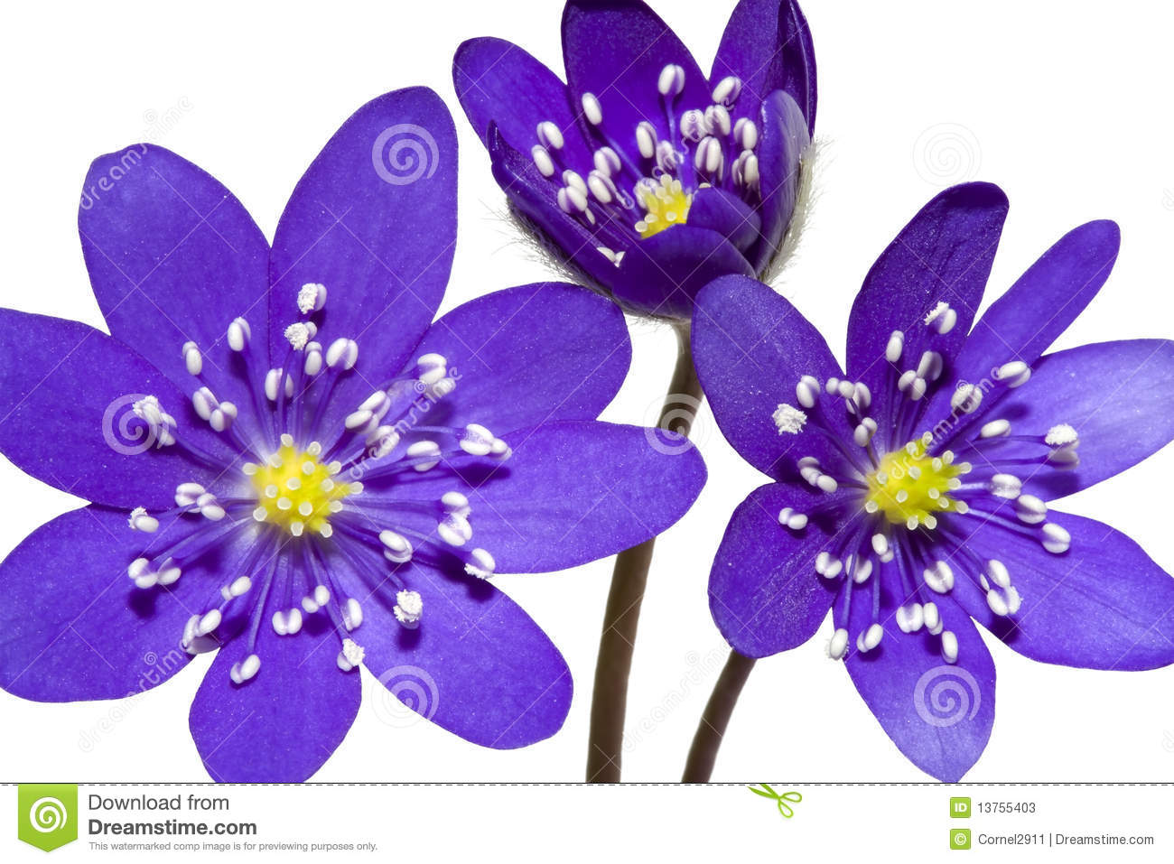 Bouquet Of Spring Mountain Purple Flower Stock Photos.