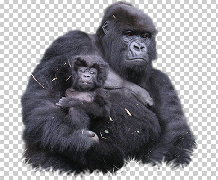 Bwindi Impenetrable National Park Mountain gorilla Ape.