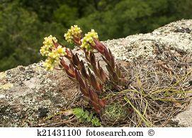 Mountain houseleek Images and Stock Photos. 21 mountain houseleek.