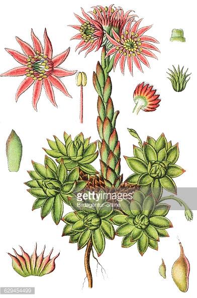 Sempervivum montanum, mountain houseleek, medicinal plant Pictures.