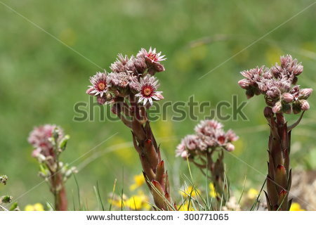 Sempervivum Montanum Stock Photos, Royalty.