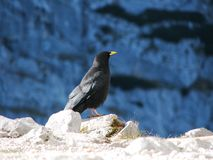 Mountain Jackdaw Royalty Free Stock Images.