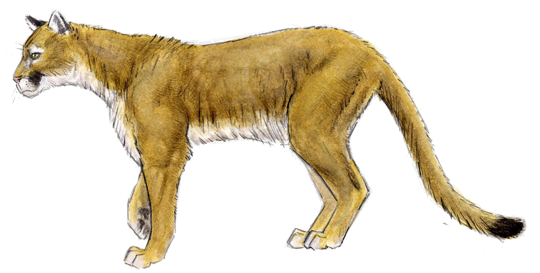 Mountain Lion #EhKlDW.