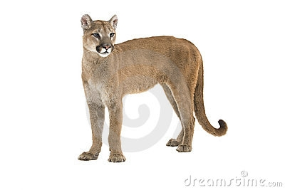 Real lion clipart.