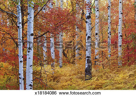 Stock Images of Forest of the Rocky Mountain maple and quaking.