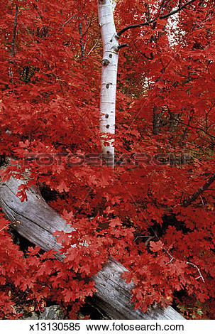 Stock Image of Rocky mountain maple trees and the white bark of.