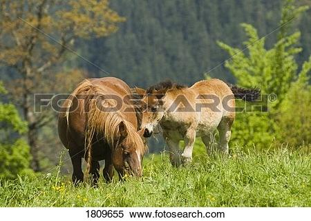 Stock Image of Mare and foal in the high mountain pastures in.