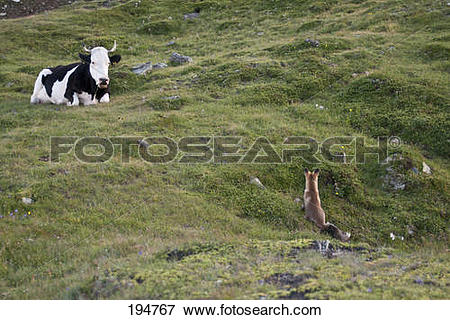 Picture of Red Fox (Vulpes vulpes). Adult on a mountain pasture.