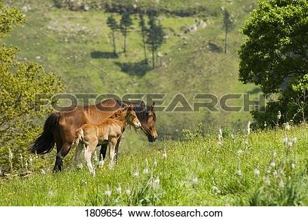 Stock Photo of Mare and foal in the high mountain pastures in.