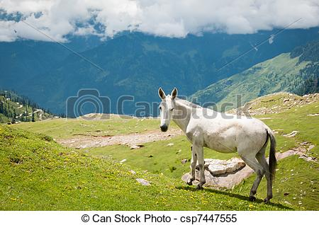 Stock Images of White horse on mountain pasture, North India.
