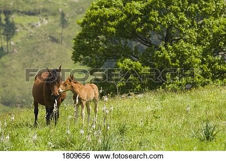 Stock Images of Mare and foal in the high mountain pastures in.