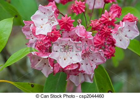 Stock Photography of mountain laurel plant.