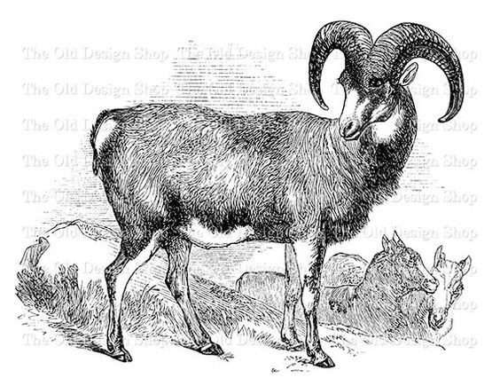 Mouflon Ram Mountain Sheep Clip Art Vintage Printable Animal.