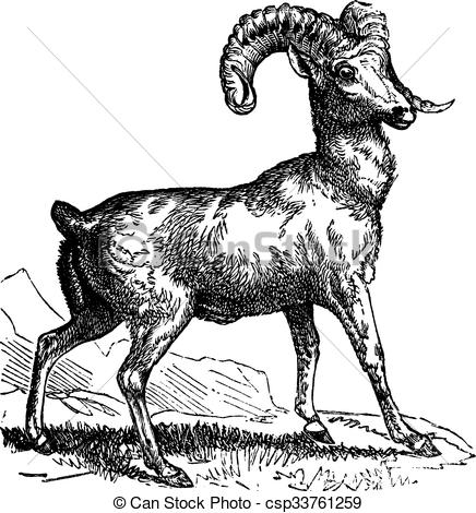 Clipart Vector of Rocky Mountain sheep (Ovis montana) or Bighorn.
