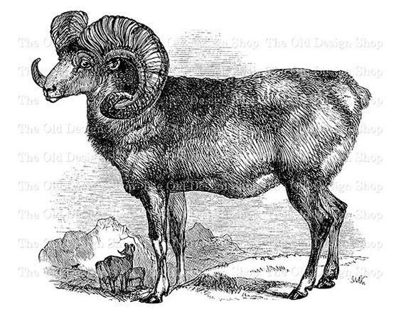 Argali Ram Horned Mountain Sheep Clip Art Vintage Printable Animal.