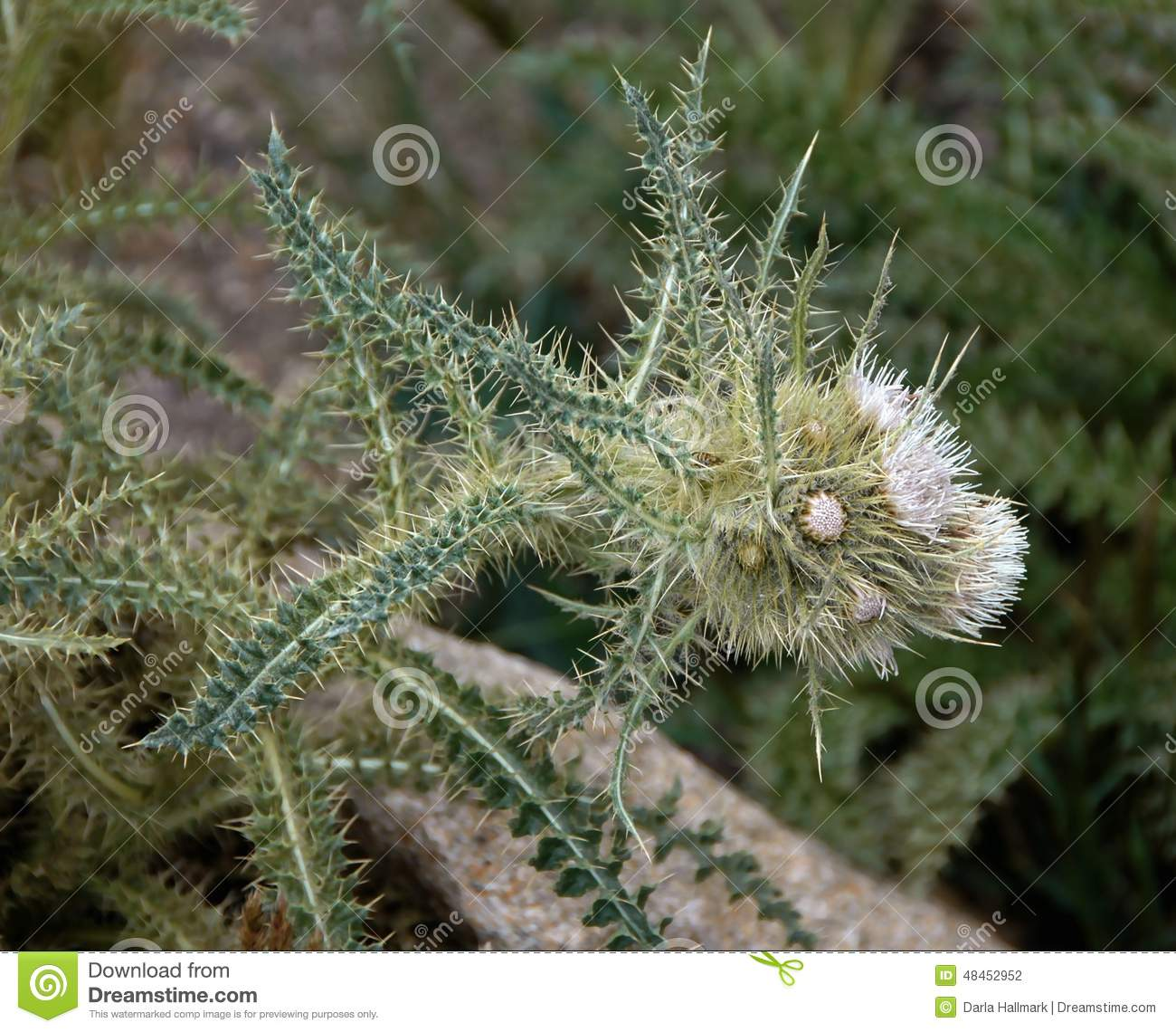 Mountain Thistle Stock Photo.