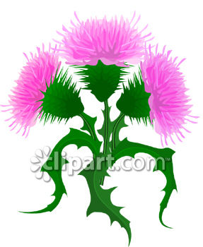 Pink Thistle Flowers.