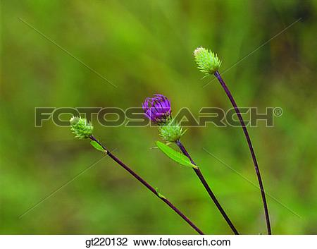 Stock Photo of thistle, flower stalk, Juwang mountain, nature.