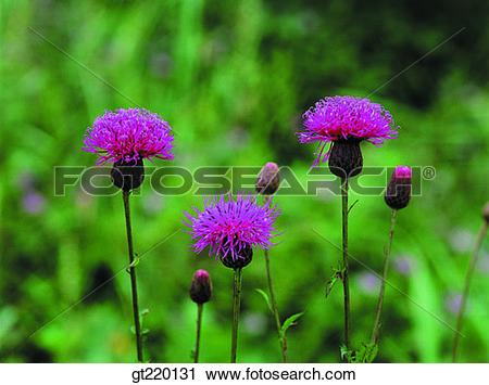 Stock Photography of Seratula coronatassp, Hamback mountain.
