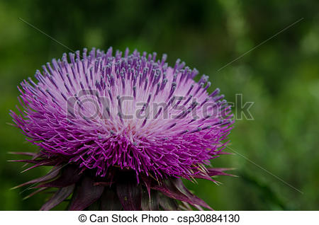 Stock Photos of Profile of Purple Thistle in Colorado Mountains.