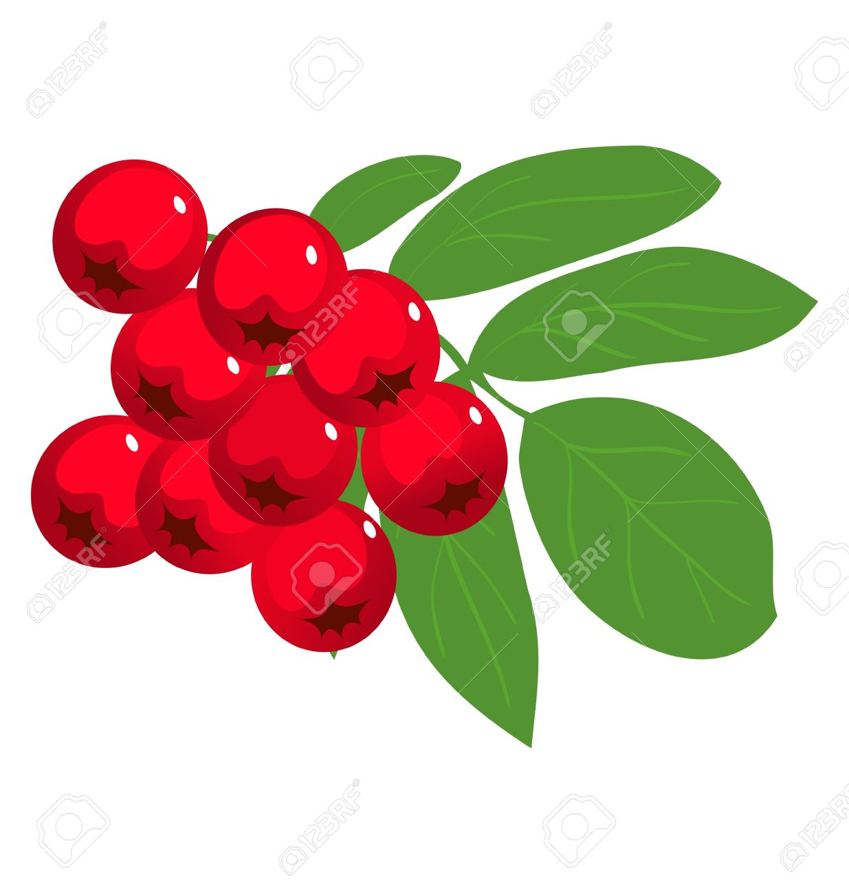 Mountain Ash Or Rowan Berry The White Royalty Free Cliparts.