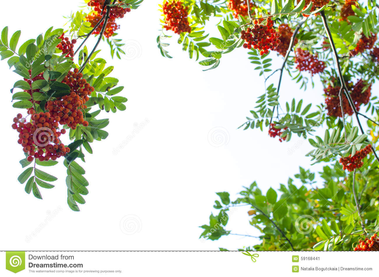 Mountain Ash Berry Stock Photo.