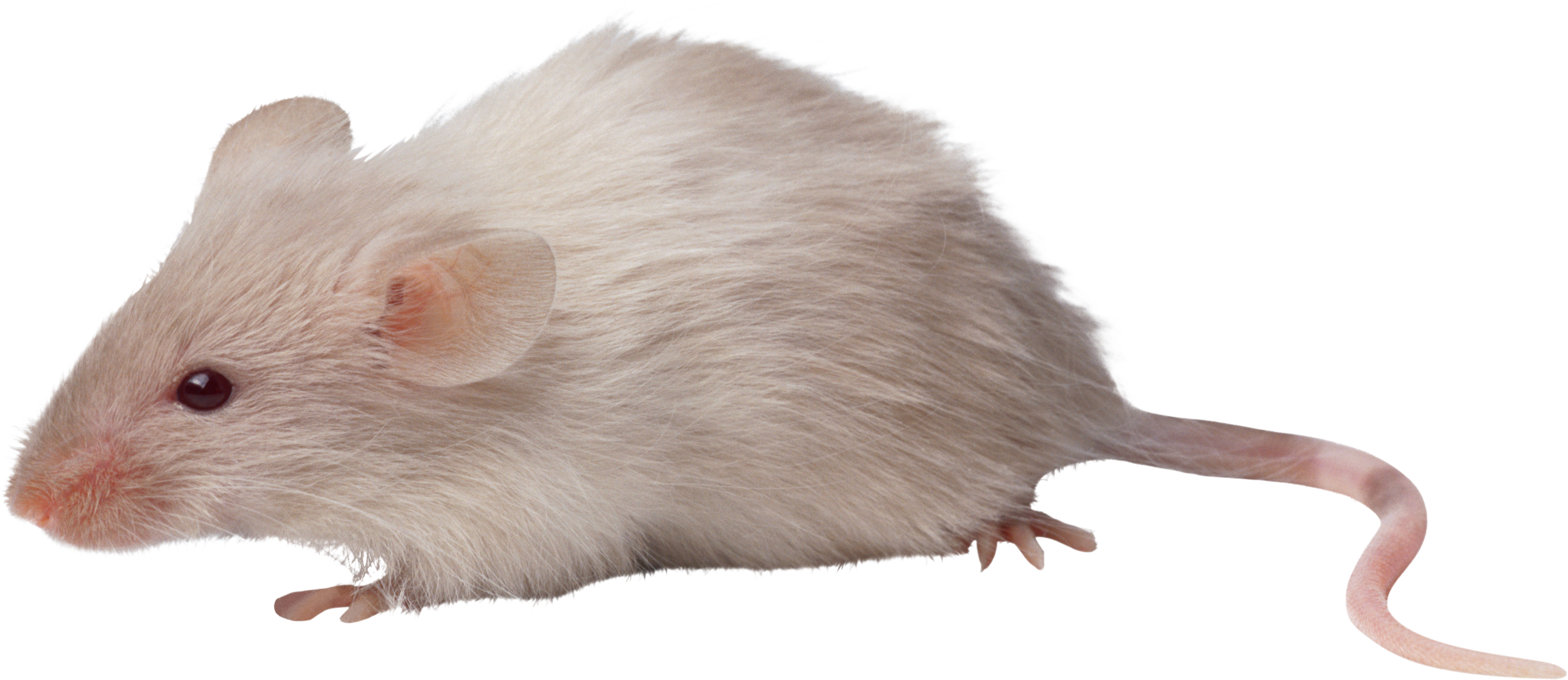 HD Mouse Animal Png.