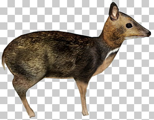 3 philippine Mousedeer PNG cliparts for free download.
