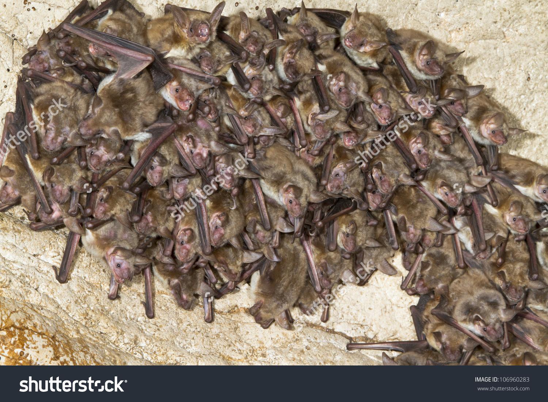 Colony Lesser Mouseeared Bats Myotis Blythii Stock Photo 106960283.