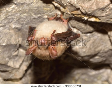 Brown Bat Stock Photos, Royalty.