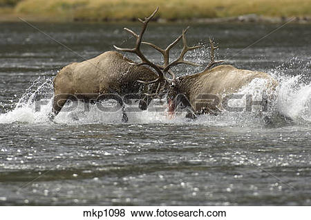 Pictures of Rocky Mt. Elk [Cervus elaphus] bulls battle for right.