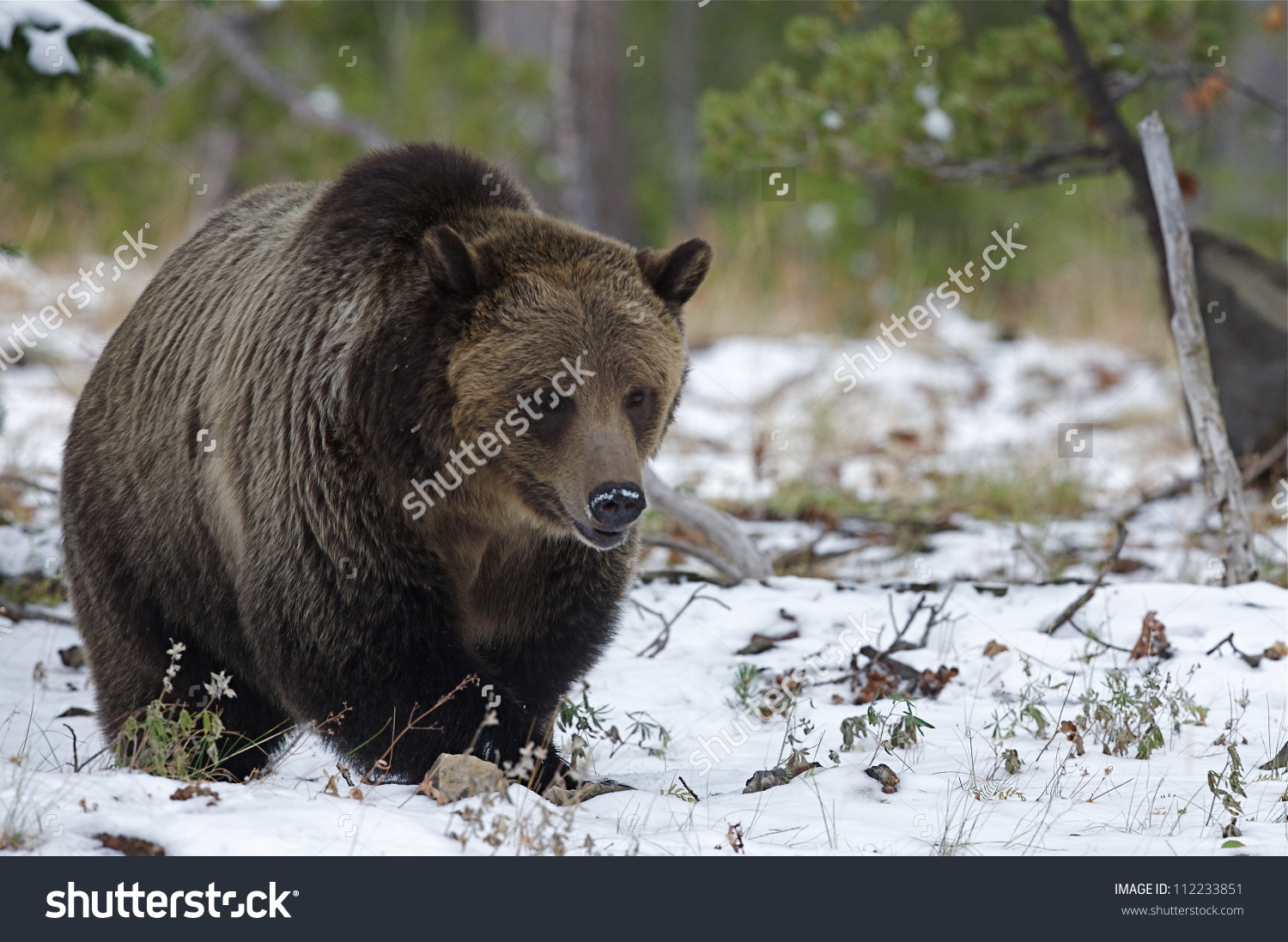 Large Grizzly Bear In Snow, Just Prior To Hibernating; Mount.