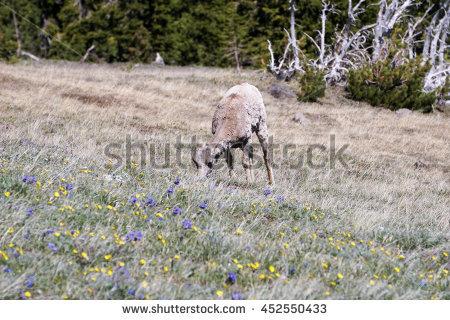 Bighorn Female Sheep Stock Photos, Royalty.