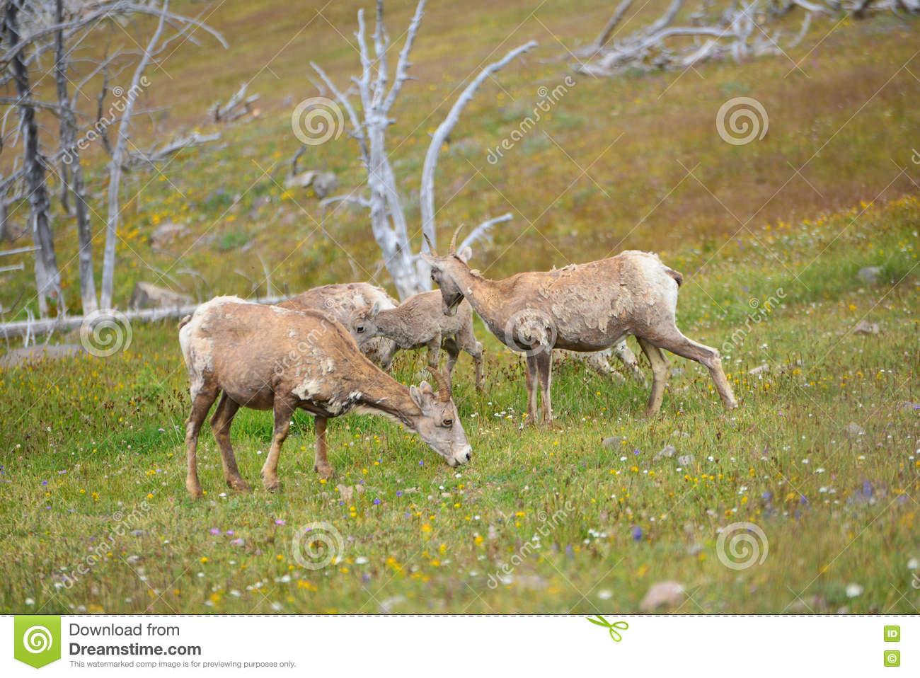 Young Big Horn Sheep In Mount Washburn Hiking Trail, Yellowston.