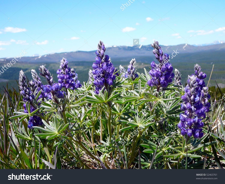 Lupine Flower Growing On Mt Washburn Stock Photo 52463761.