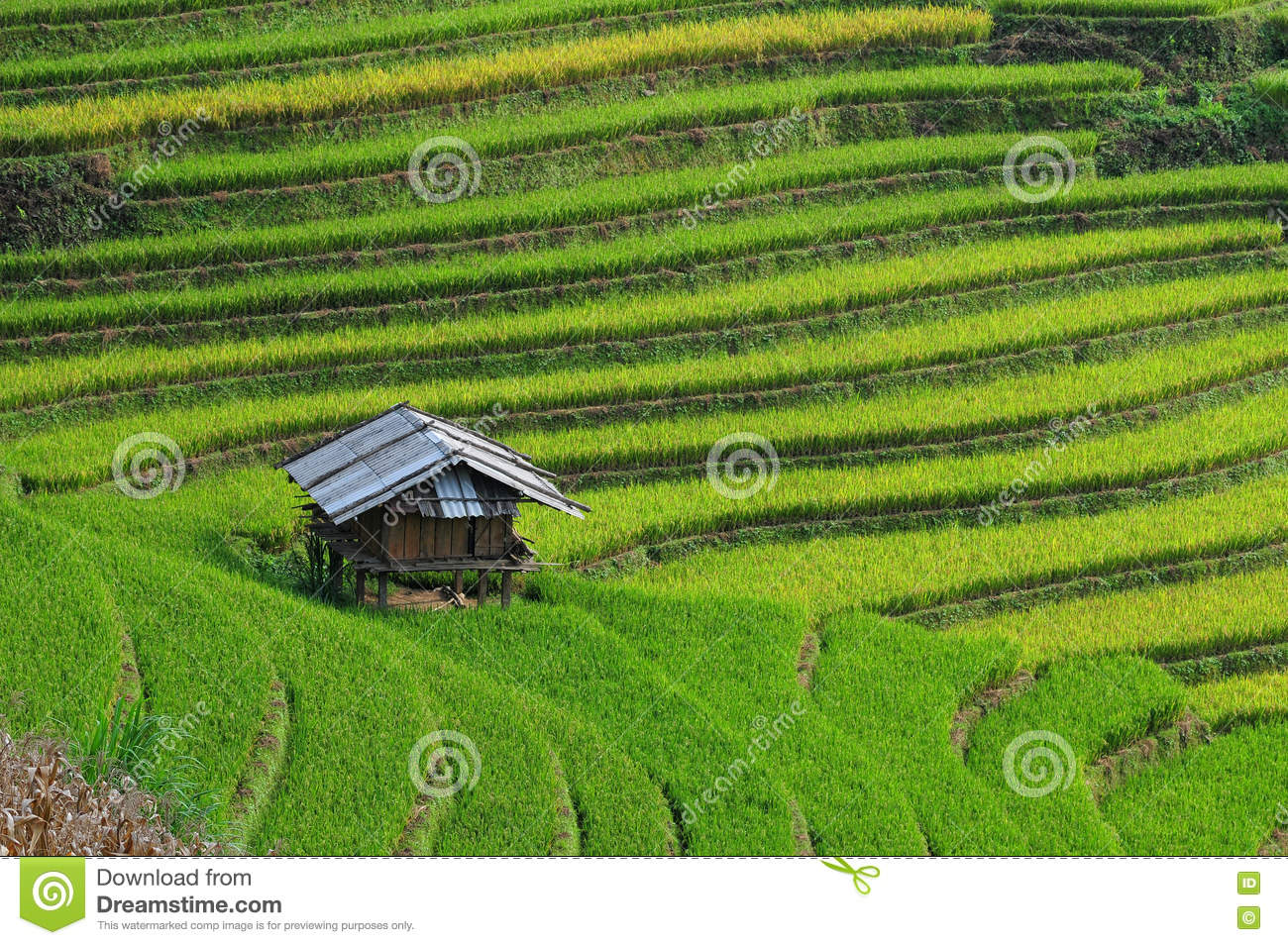 A Small House On Rice Field In Mu Cang Chai, Vietnam Stock Photo.