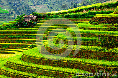 Gold Terraced Rice Fields With Sunlight In Mu Cang Chai, Vietnam.