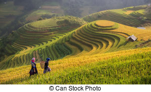 Stock Photography of gold rice season in Mu Cang Chai province.