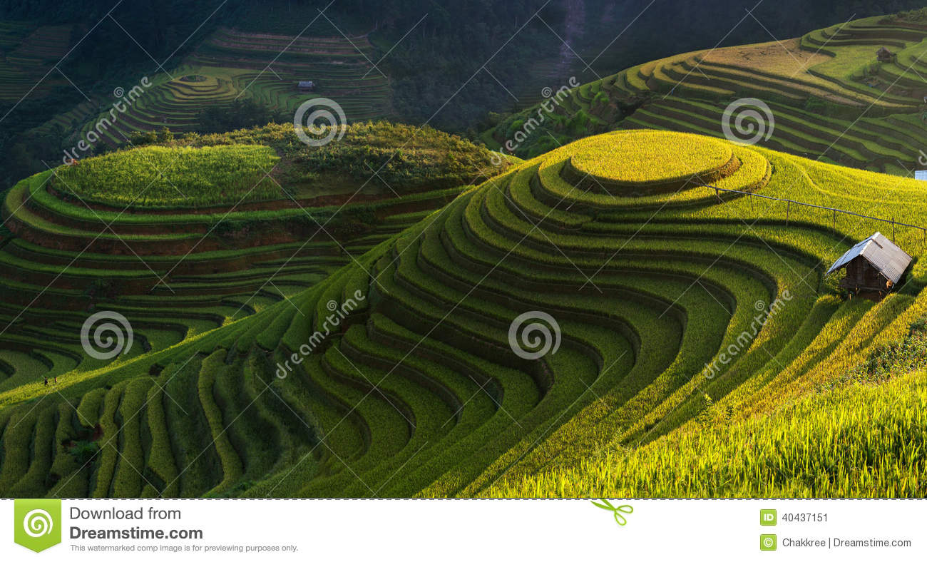 Golden Rice Terrace In Mu Cang Chai,Vietnam. Stock Photo.