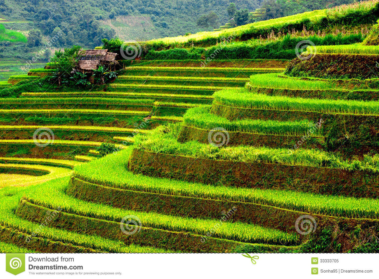 Gold Terraced Rice Fields In Mu Cang Chai,Yen Bai, Vietnam Stock.