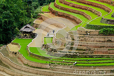 Terraced Rice Fields With Water In Mu Cang Chai Royalty Free Stock.