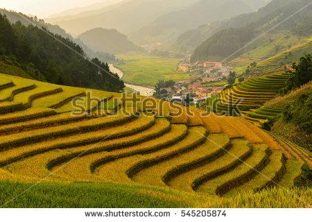 Asia Rice Field By Harvesting Season Stock Photo 222700240.