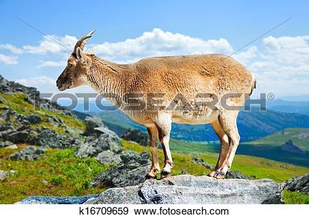Stock Photograph of Standing muflon at wildness k16709659.