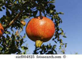 Pomegranate tree Stock Photos and Images. 1,718 pomegranate tree.