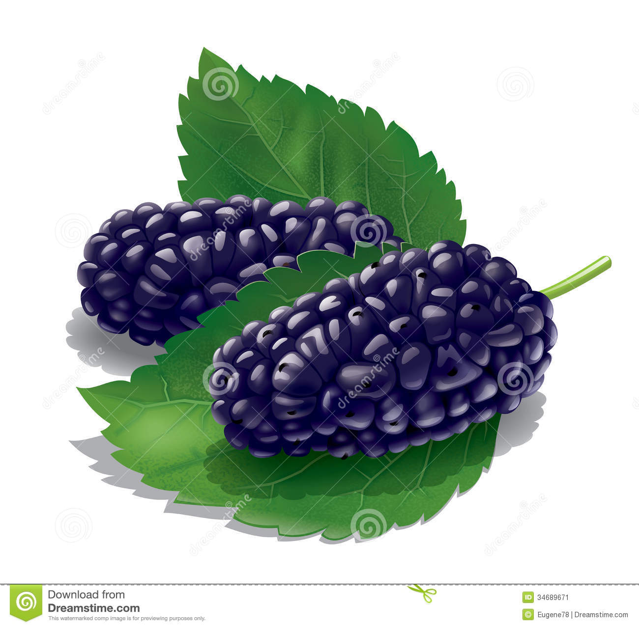 Mulberry Stock Illustrations.