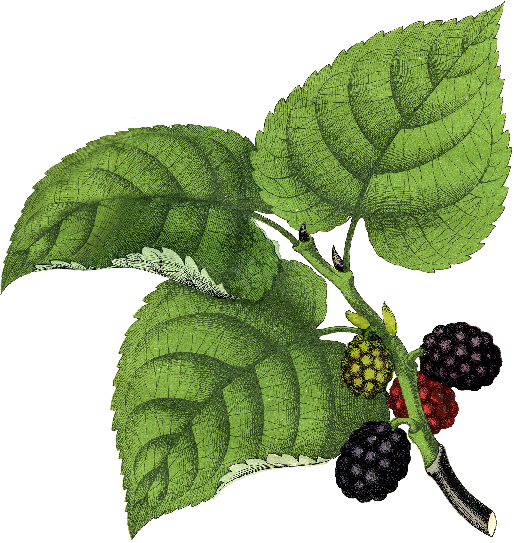 Vintage Mulberries Clip Art!.
