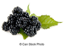 Mulberry tree Stock Photo Images. 1,275 Mulberry tree royalty free.